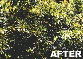 Chemjet Tree Injector Avocado Tree - After Treatment