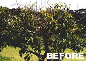 Chemjet Tree Injector Avocado Tree - Before Treatment